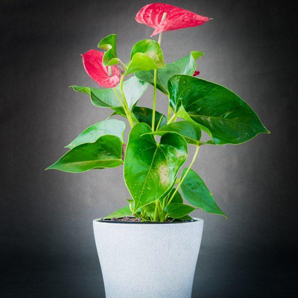 Plantes_Louis_XV-3
