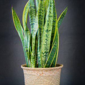 Plantes_Louis_XV-13